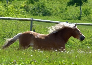 Notre cheval qui galope... dans un enclos.